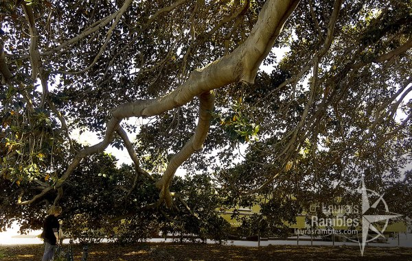 Moreton Bay Fig Tree is GIGANTIC!