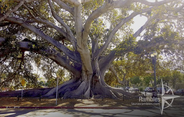 One of the biggest fig trees you will see